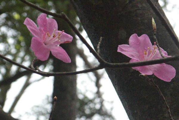 アカヤシオP1050456.jpg