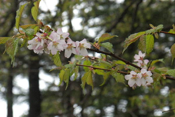 袈裟丸山山頂桜P1050441.jpg