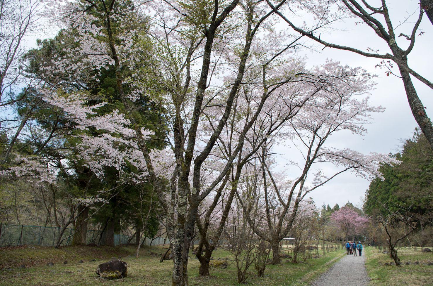 桜IMGP7000.jpg