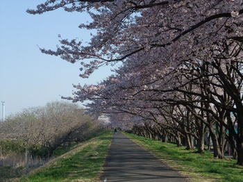多摩川の桜.JPG